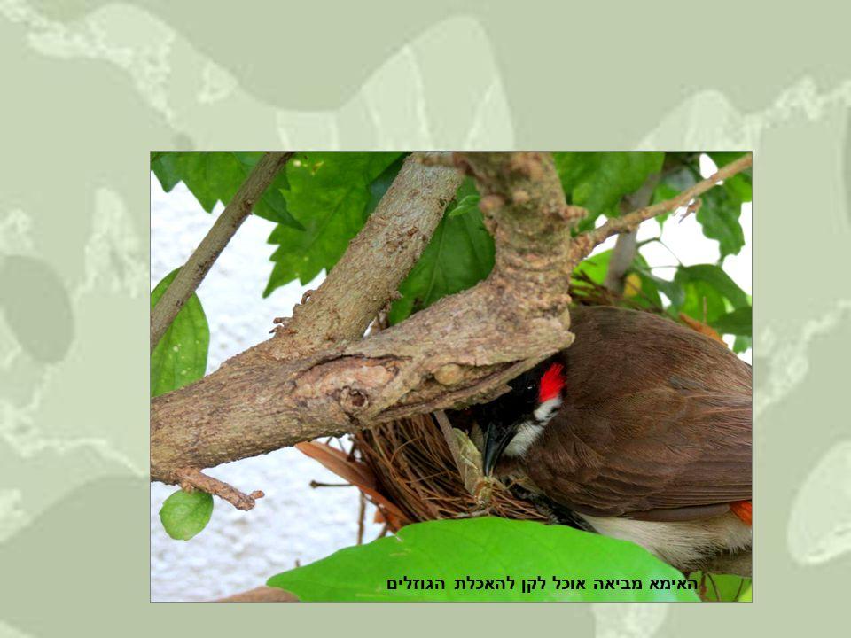 האימא מביאה אוכל לקן להאכלת הגוזלים