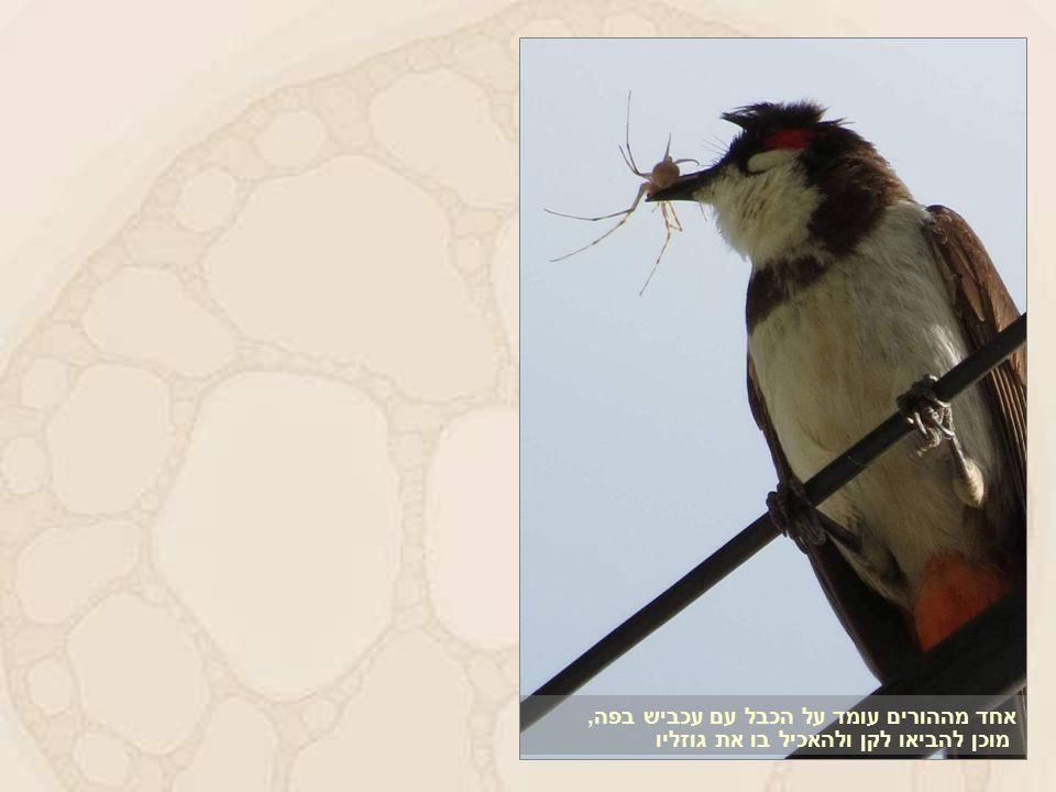 אחד מההורים עומד על הכבל עם עכביש בפה, מוכן להביאו לקן ולהאכיל בו את גוזליו