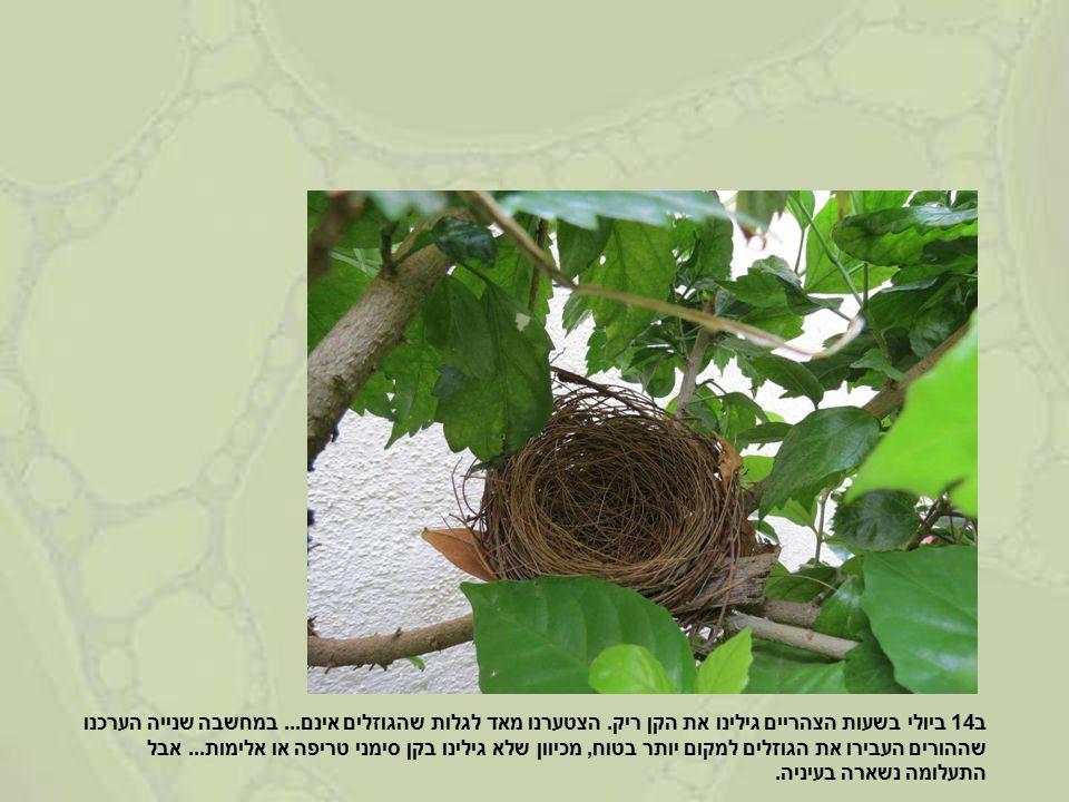 ב14 ביולי בשעות הצהריים גילינו את הקן ריק. הצטערנו מאד לגלות שהגוזלים אינם...
