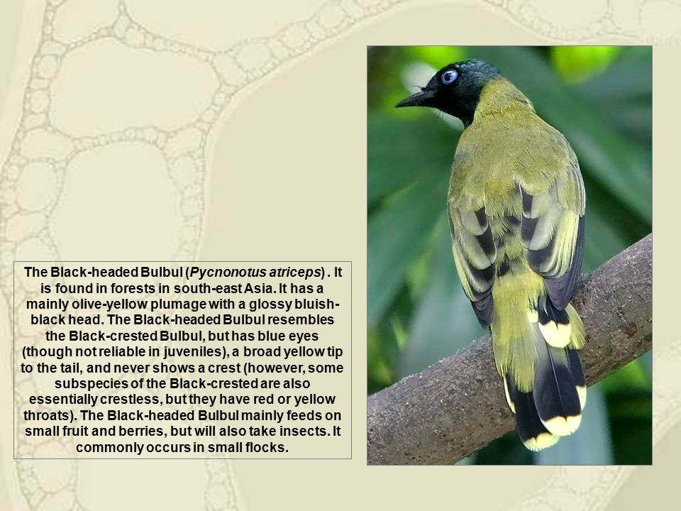 The Black-headed Bulbul (Pycnonotus atriceps). It is found in forests in south-east Asia.