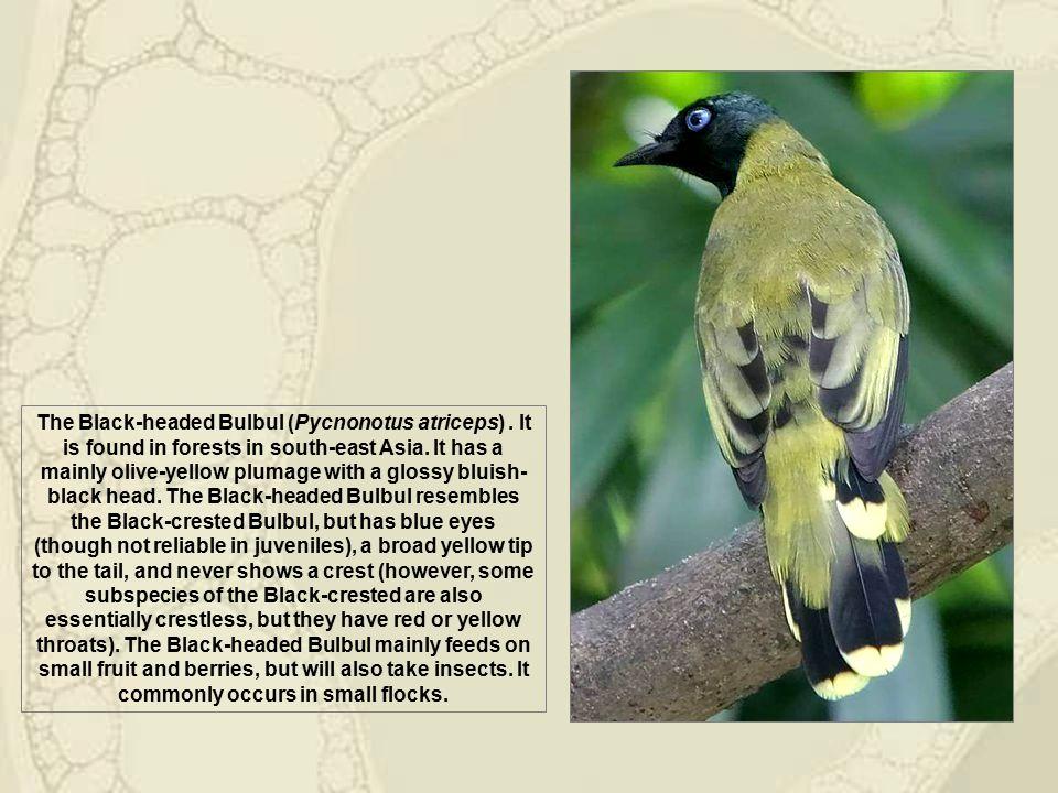 The Yellow-vented Bulbul (Pycnonotus goiavier).