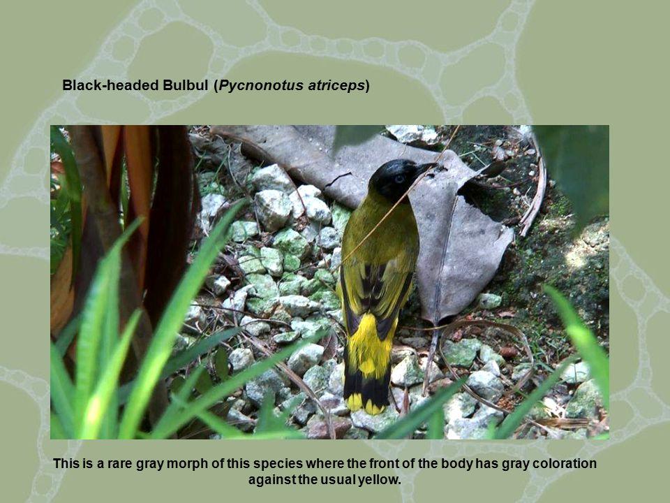 The Grey-bellied Bulbul (Pycnonotus cyaniventris).