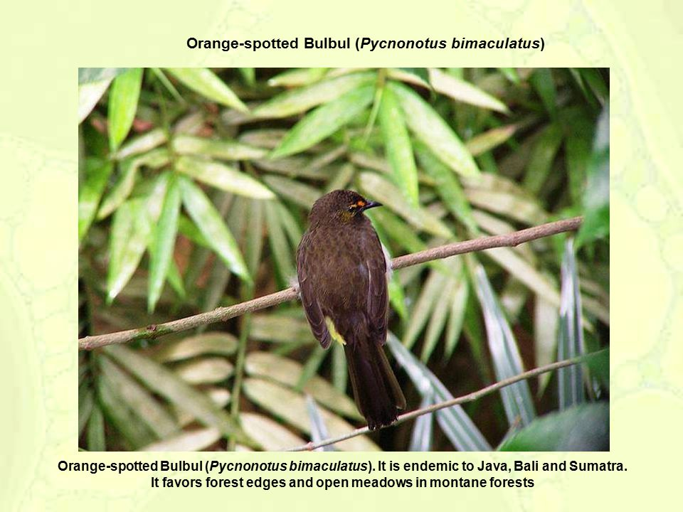 The Ruby-throated Bulbul, (Pycnonotus dispar).It is found on Sumatra, Java, and Bali.
