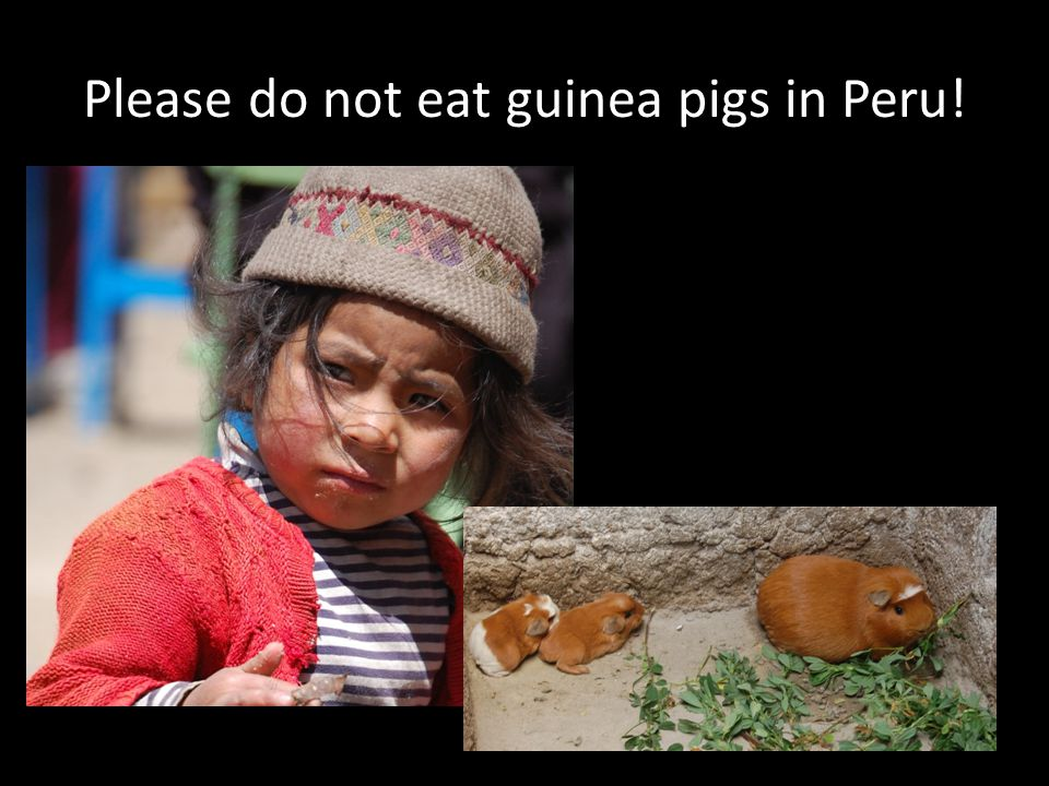 Please do not eat guinea pigs in Peru!