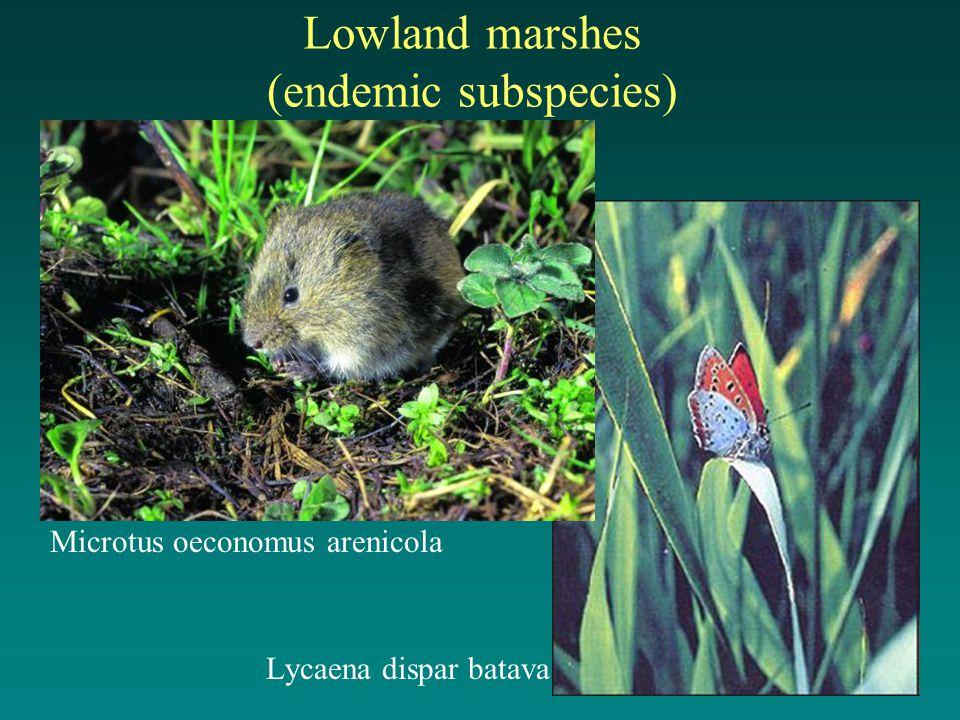 Lowland marshes (endemic subspecies) Microtus oeconomus arenicola Lycaena dispar batava