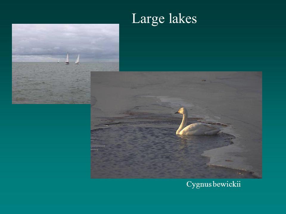 Large lakes Cygnus bewickii