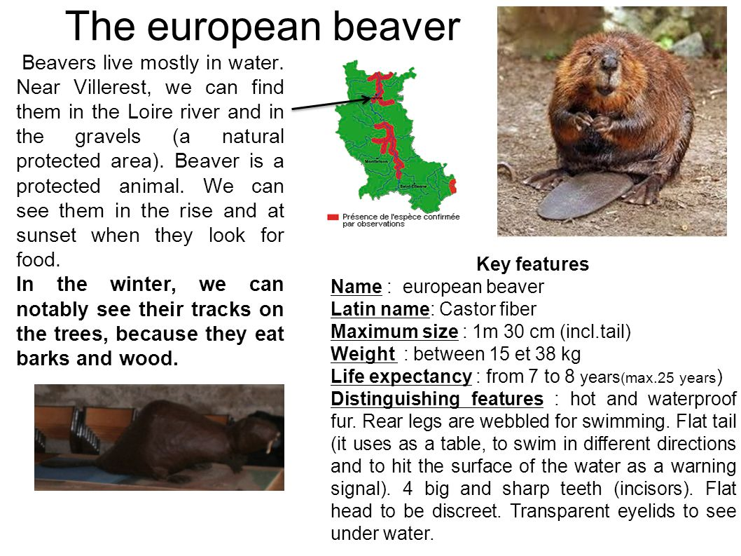 The european beaver Beavers live mostly in water. Near Villerest, we can find them in the Loire river and in the gravels (a natural protected area). B