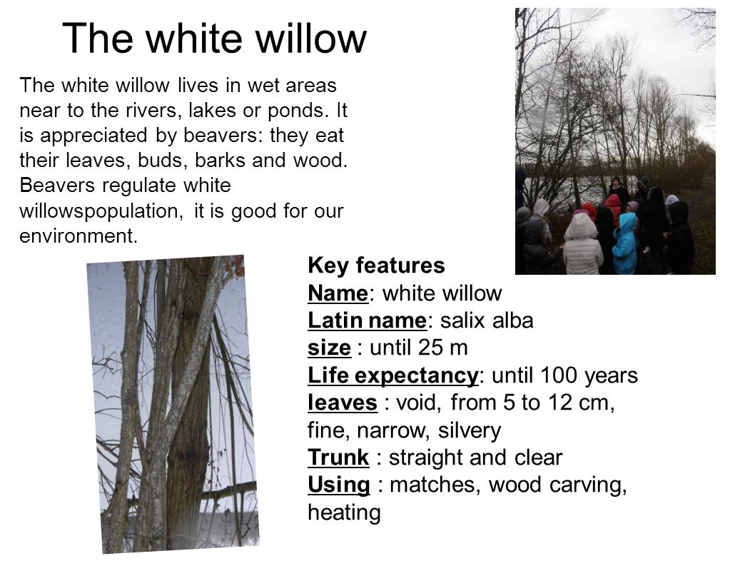 The white willow The white willow lives in wet areas near to the rivers, lakes or ponds. It is appreciated by beavers: they eat their leaves, buds, ba