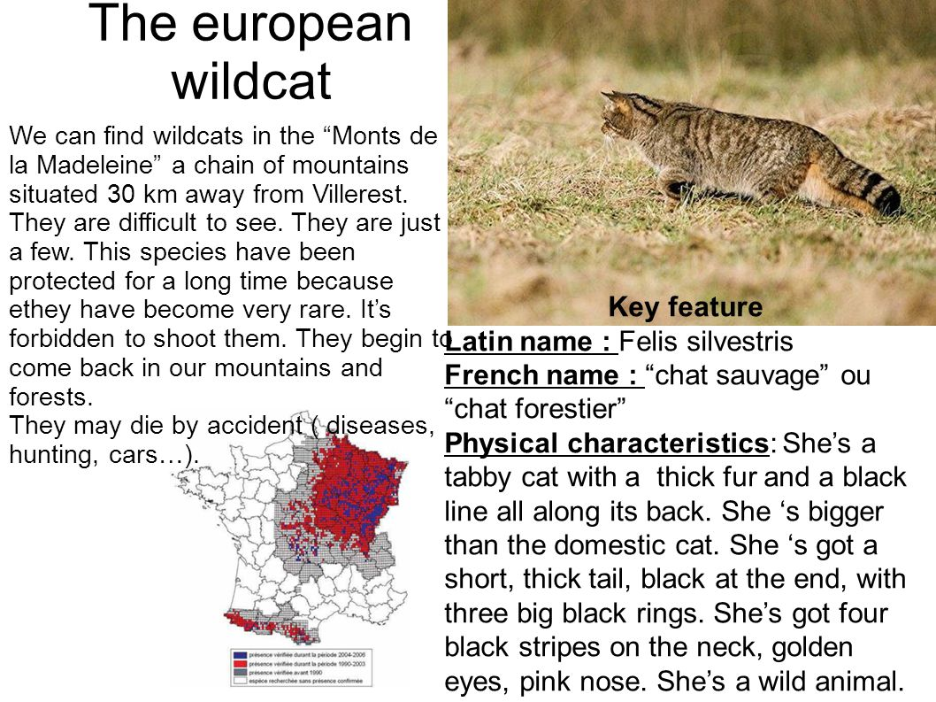 "The european wildcat Key feature Latin name : Felis silvestris French name : ""chat sauvage"" ou ""chat forestier"" Physical characteristics: She's a tabb"