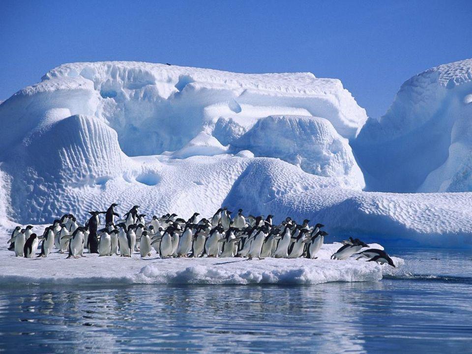 Adelie Penguins in Hope Bay, Antarctica