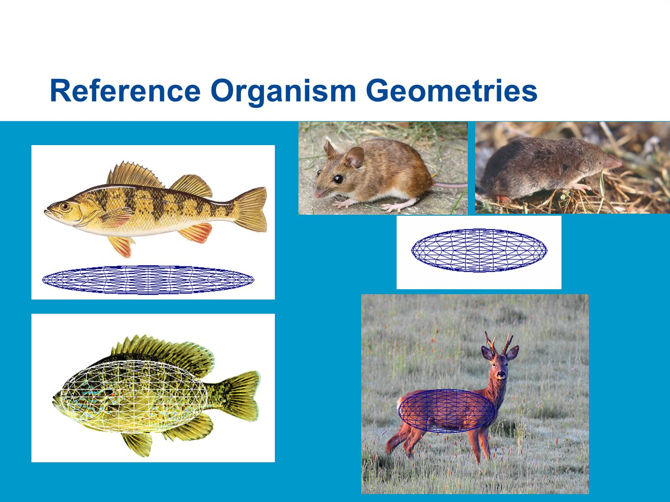 Reference Organism Geometries