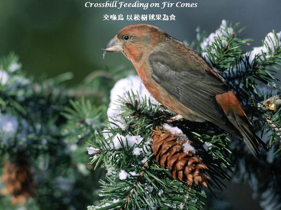 Crossbill Feeding on Fir Cones 交喙鳥 以松樹毬果為食