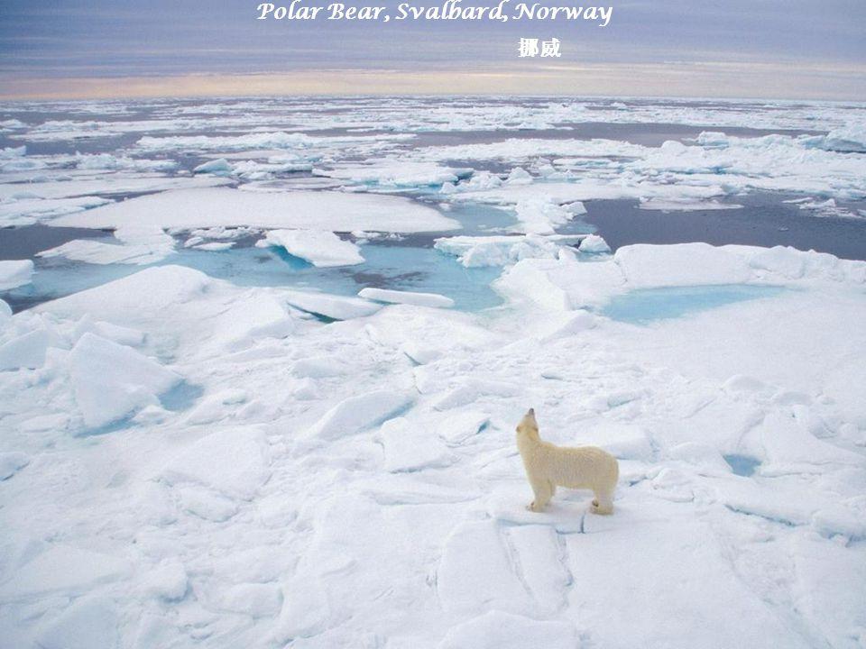 Polar Bear, Svalbard, Norway 挪威