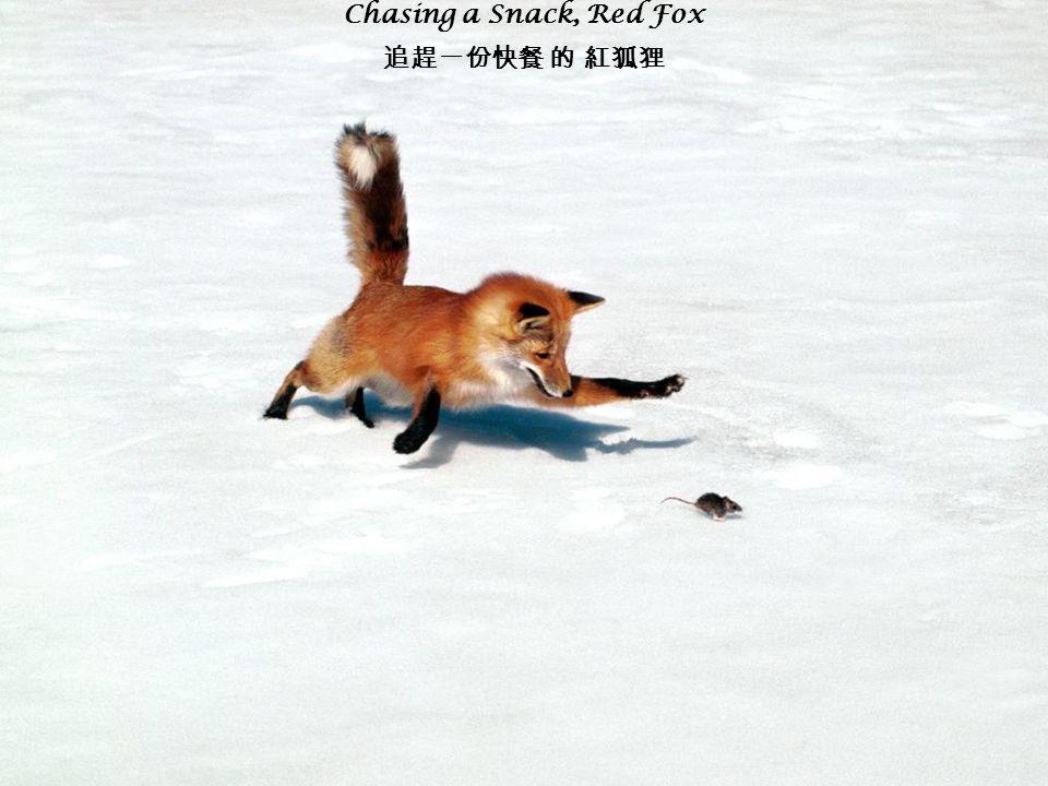 Chasing a Snack, Red Fox 追趕一份快餐 的 紅狐狸