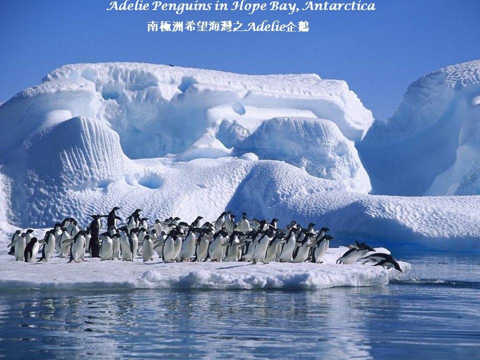 Adelie Penguins in Hope Bay, Antarctica 南極洲希望海灣之 Adelie 企鵝