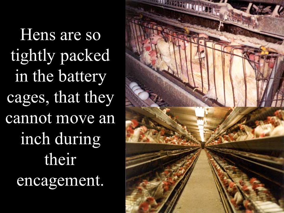 Hens are so tightly packed in the battery cages, that they cannot move an inch during their encagement.