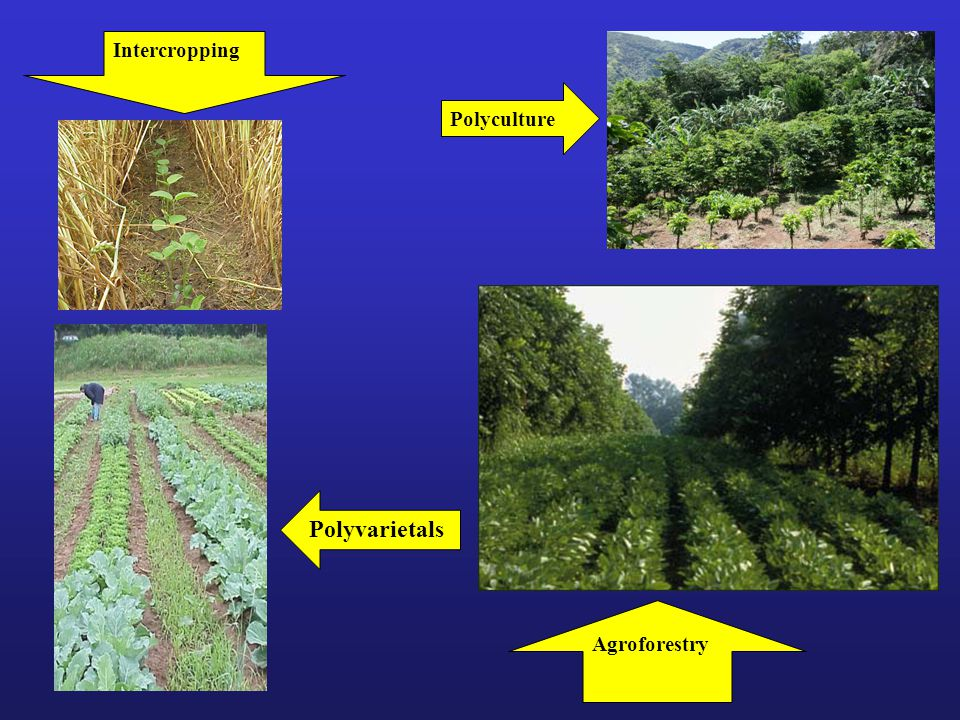 Polyculture Agroforestry Intercropping Polyvarietals