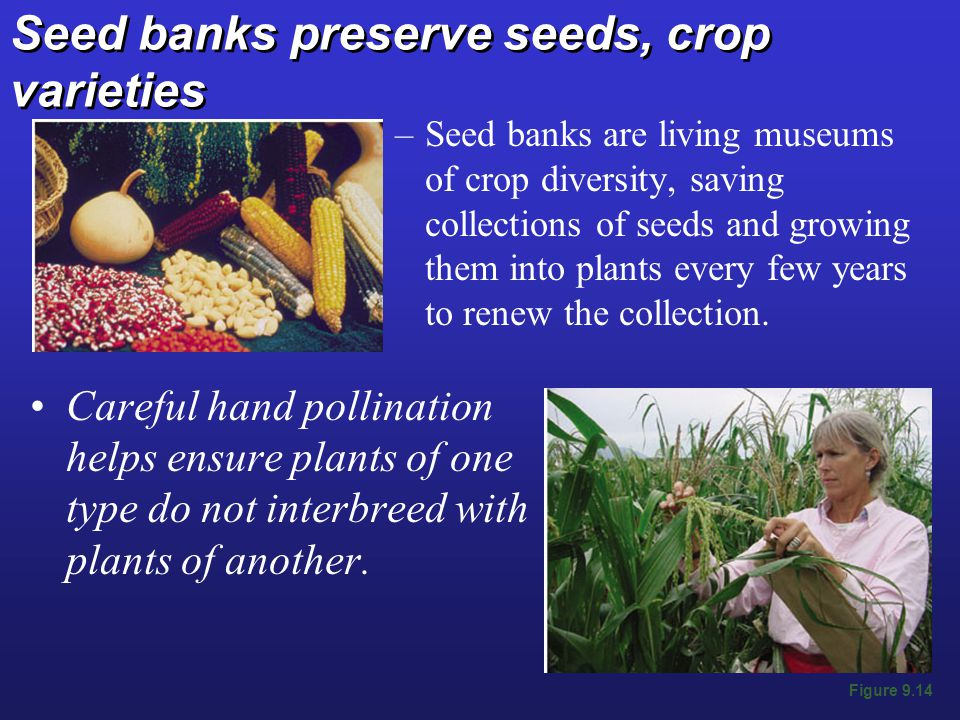 Seed banks preserve seeds, crop varieties –Seed banks are living museums of crop diversity, saving collections of seeds and growing them into plants every few years to renew the collection.