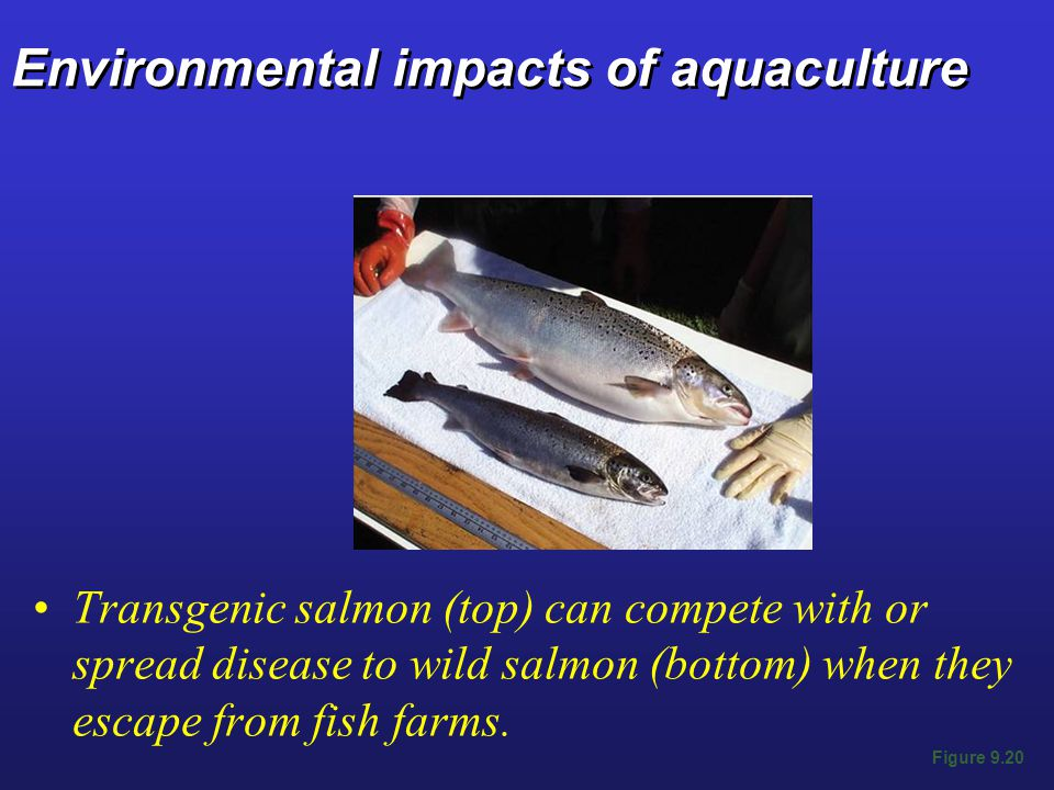 Environmental impacts of aquaculture Transgenic salmon (top) can compete with or spread disease to wild salmon (bottom) when they escape from fish farms.