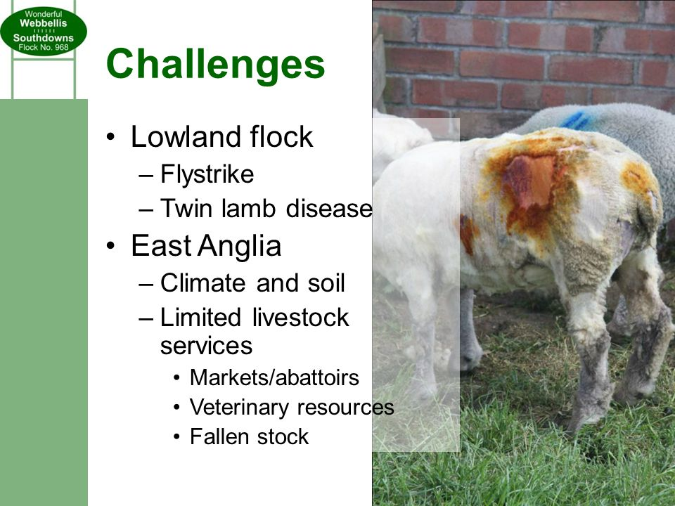 Challenges Lowland flock –Flystrike –Twin lamb disease East Anglia –Climate and soil –Limited livestock services Markets/abattoirs Veterinary resources Fallen stock