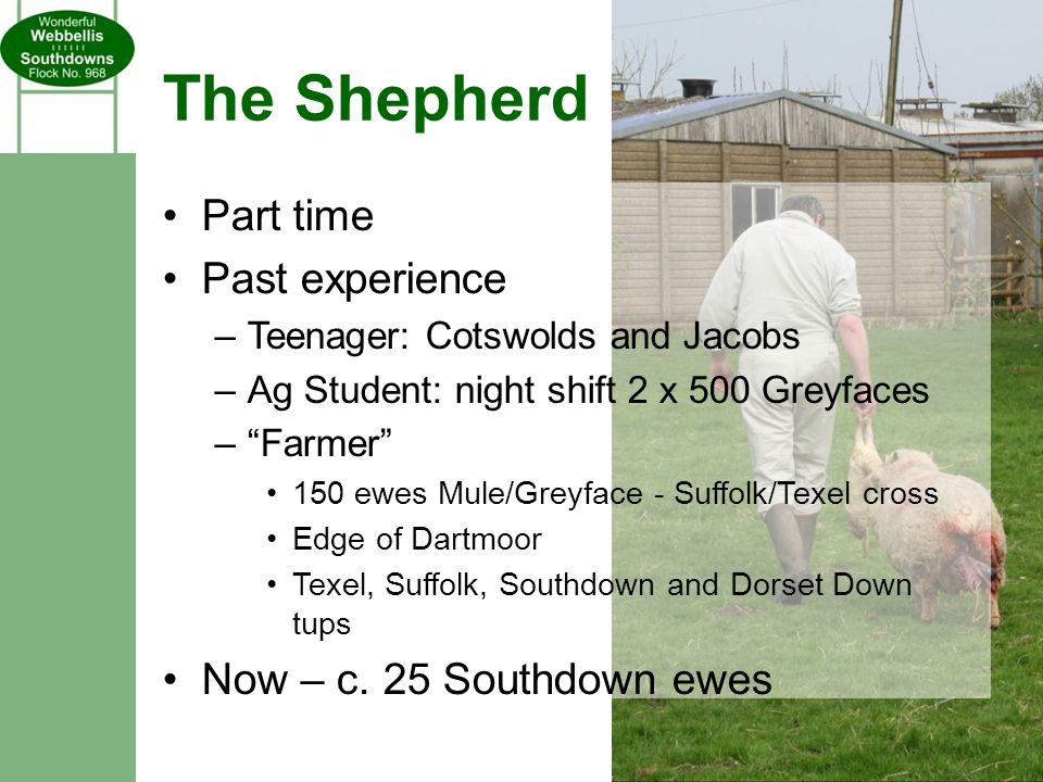 The Shepherd Part time Past experience –Teenager: Cotswolds and Jacobs –Ag Student: night shift 2 x 500 Greyfaces – Farmer 150 ewes Mule/Greyface - Suffolk/Texel cross Edge of Dartmoor Texel, Suffolk, Southdown and Dorset Down tups Now – c.