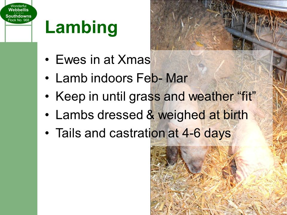 Lambing Ewes in at Xmas Lamb indoors Feb- Mar Keep in until grass and weather fit Lambs dressed & weighed at birth Tails and castration at 4-6 days