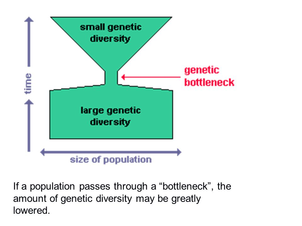"""If a population passes through a """"bottleneck"""", the amount of genetic diversity may be greatly lowered."""