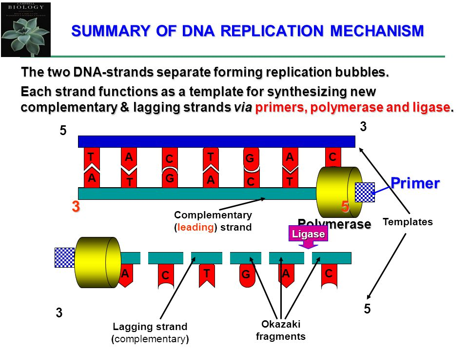 SUMMARY OF DNA REPLICATION MECHANISM The two DNA-strands separate forming replication bubbles.