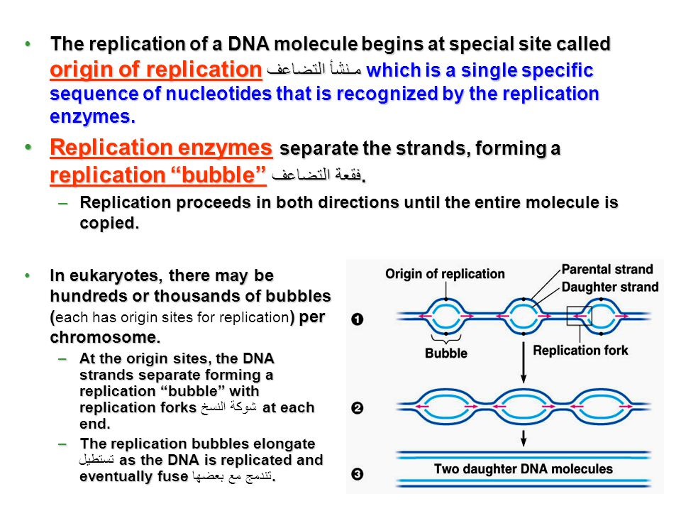 In eukaryotes, there may be hundreds or thousands of bubbles () per chromosome.In eukaryotes, there may be hundreds or thousands of bubbles ( each has origin sites for replication ) per chromosome.
