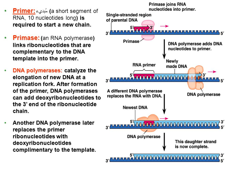 8 Primer: ( ) is required to start a new chain.Primer: مُبديء (a short segment of RNA, 10 nucleotides long) is required to start a new chain. Primase: