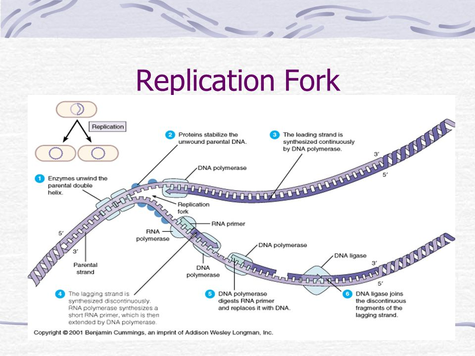 Protein Synthesis DNA-------  mRNA------  protein transcription translation Central Dogma of Molecular Genetics