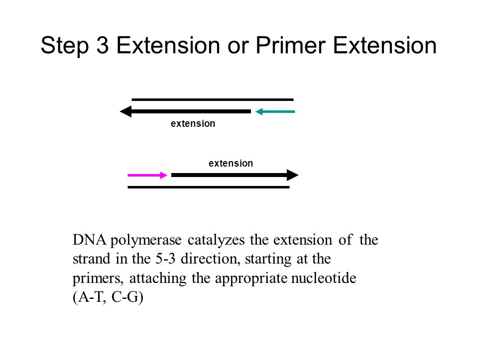 Step 3 Extension or Primer Extension DNA polymerase catalyzes the extension of the strand in the 5-3 direction, starting at the primers, attaching the appropriate nucleotide (A-T, C-G) extension
