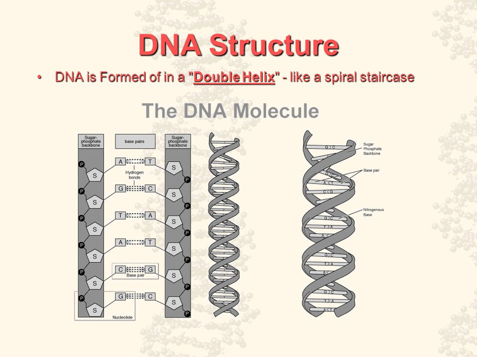 DNA Structure DNA is Formed of in a Double Helix - like a spiral staircaseDNA is Formed of in a Double Helix - like a spiral staircase