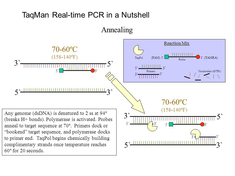 TaqMan Real-time PCR in a Nutshell Annealing Any genome (dsDNA) is denatured to 2 ss at 94º (breaks H+ bonds).