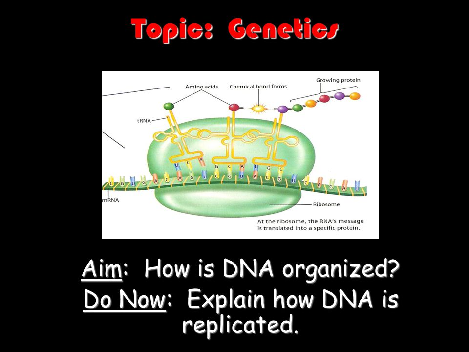 Topic: Genetics Aim: How is DNA organized? Do Now: Explain how DNA is replicated.