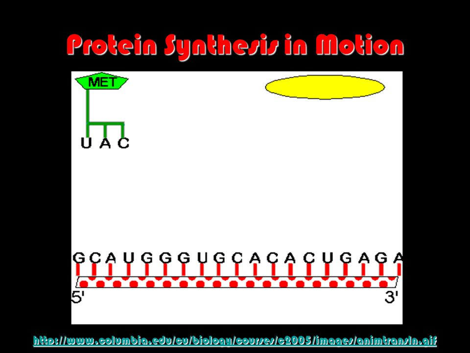 Protein Synthesis in Motion http://www.columbia.edu/cu/biology/courses/c2005/images/animtransln.gif