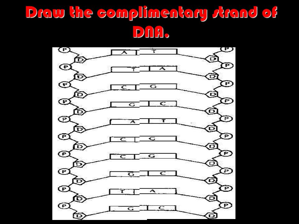 Draw the complimentary strand of DNA.