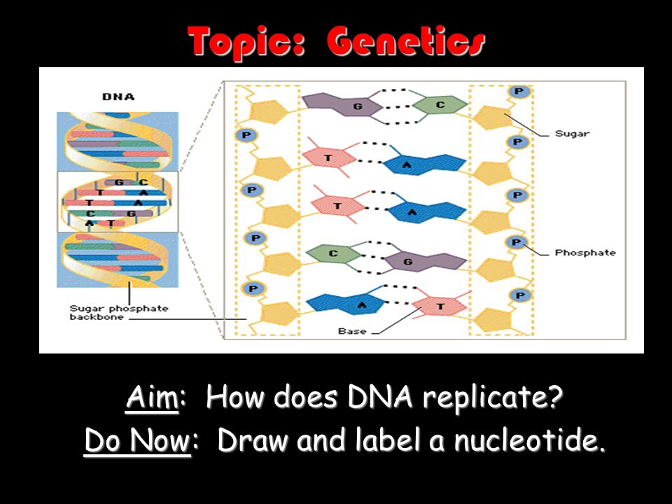 How does DNA replicate.