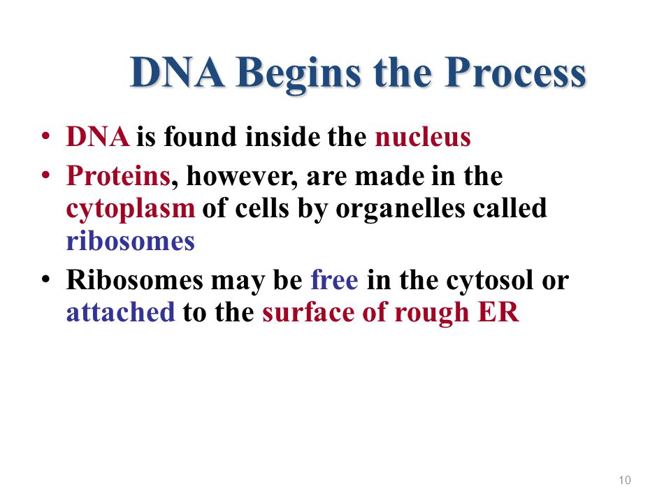 DNA Begins the Process DNA is found inside the nucleus Proteins, however, are made in the cytoplasm of cells by organelles called ribosomes Ribosomes may be free in the cytosol or attached to the surface of rough ER 10