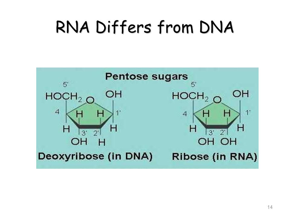 RNA Differs from DNA 14