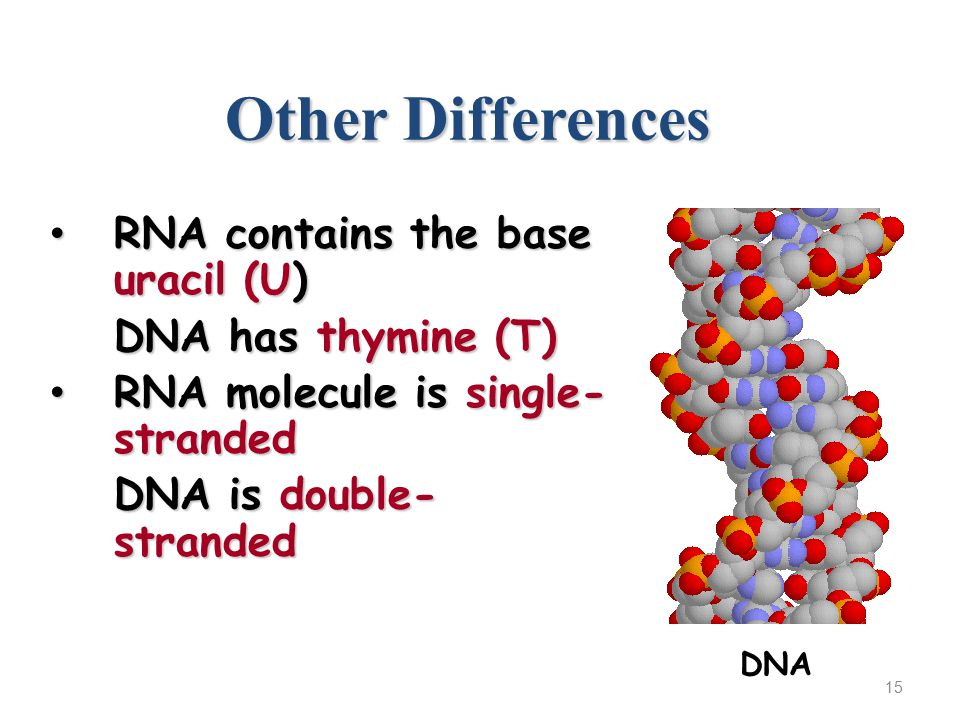 Other Differences RNA contains the base uracil (U) RNA contains the base uracil (U) DNA has thymine (T) RNA molecule is single- stranded RNA molecule is single- stranded DNA is double- stranded 15 DNA