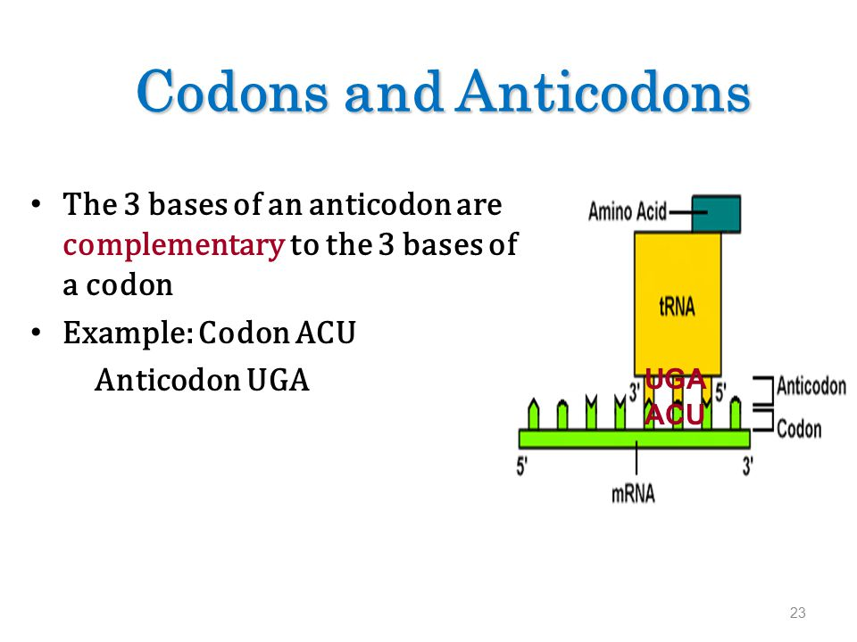 Codons and Anticodons The 3 bases of an anticodon are complementary to the 3 bases of a codon Example: Codon ACU Anticodon UGA 23 UGA ACU