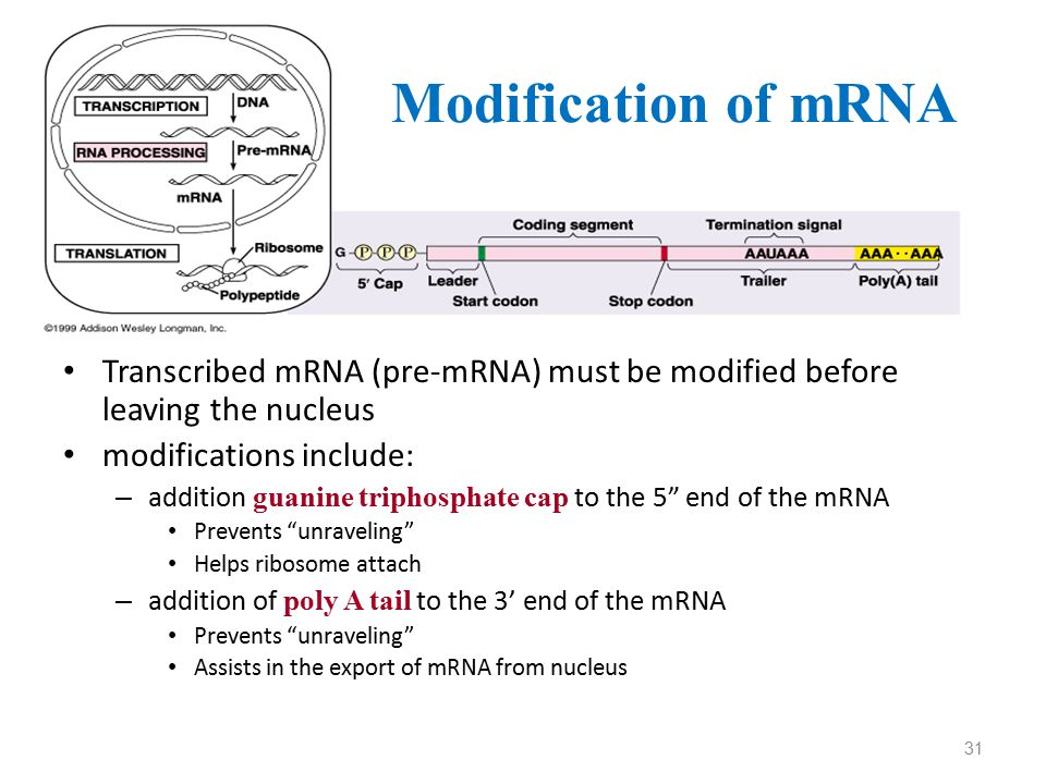 Transcribed mRNA (pre-mRNA) must be modified before leaving the nucleus modifications include: – addition guanine triphosphate cap to the 5 end of the mRNA Prevents unraveling Helps ribosome attach – addition of poly A tail to the 3' end of the mRNA Prevents unraveling Assists in the export of mRNA from nucleus Modification of mRNA 31