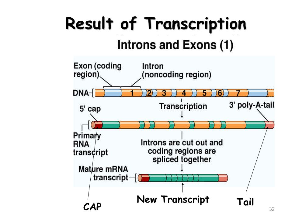 32 CAP Tail New Transcript Result of Transcription