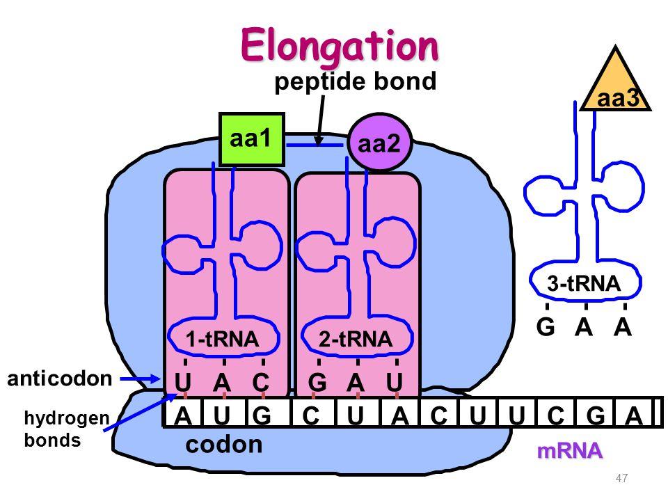 47 mRNA AUGCUACUUCG 1-tRNA2-tRNA UACG aa1 aa2 AU A anticodon hydrogen bonds codon peptide bond 3-tRNA GAA aa3 Elongation