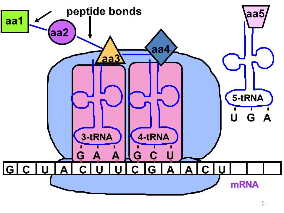 51 mRNA GCUACUUCG aa1 aa2 A peptide bonds 3-tRNA GAA aa3 4-tRNA GCU aa4 ACU UGA 5-tRNA aa5