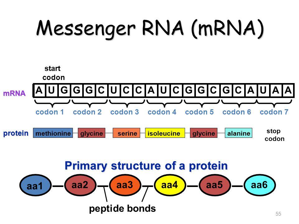 Messenger RNA (mRNA) 55 methionineglycineserineisoleucineglycinealanine stop codon protein AUGGGCUCCAUCGGCGCAUAA mRNA start codon Primary structure of a protein aa1 aa2aa3aa4aa5aa6 peptide bonds codon 2codon 3codon 4codon 5codon 6codon 7codon 1