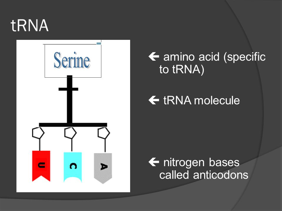 tRNA  amino acid (specific to tRNA)  tRNA molecule  nitrogen bases called anticodons