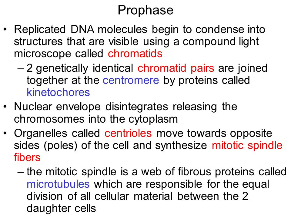 Prophase Replicated DNA molecules begin to condense into structures that are visible using a compound light microscope called chromatids –2 genetically identical chromatid pairs are joined together at the centromere by proteins called kinetochores Nuclear envelope disintegrates releasing the chromosomes into the cytoplasm Organelles called centrioles move towards opposite sides (poles) of the cell and synthesize mitotic spindle fibers –the mitotic spindle is a web of fibrous proteins called microtubules which are responsible for the equal division of all cellular material between the 2 daughter cells