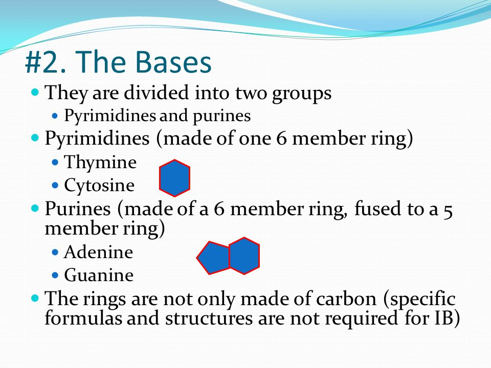 #2. The Bases They are divided into two groups Pyrimidines and purines Pyrimidines (made of one 6 member ring) Thymine Cytosine Purines (made of a 6 m